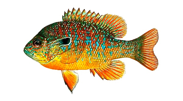 fish_bream_longear_sunfish