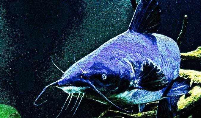blue-catfish-2z8jovmcamm5m5r4cv68lm