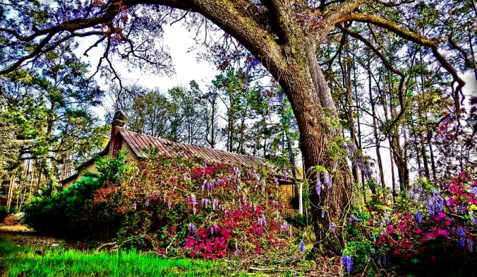 abandoned-house-with-flowers-and-a-grande-oak-hdr-anthony-ackerman